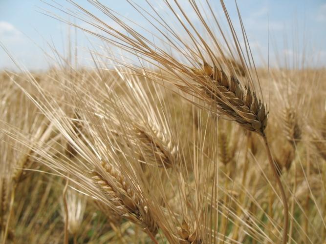 grano-frumento-cereali-by-xpistwv-morguefile-1000x750.jpg