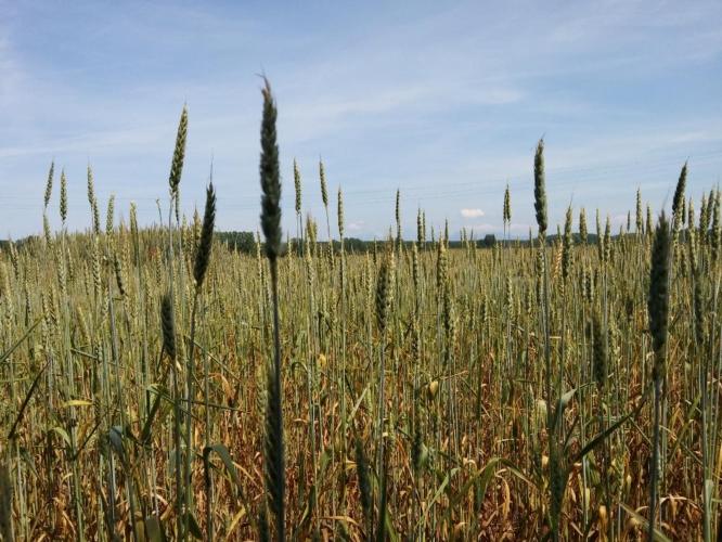 grano-frumento-tenero-campo-by-matteo-giusti-agronotizie-jpg