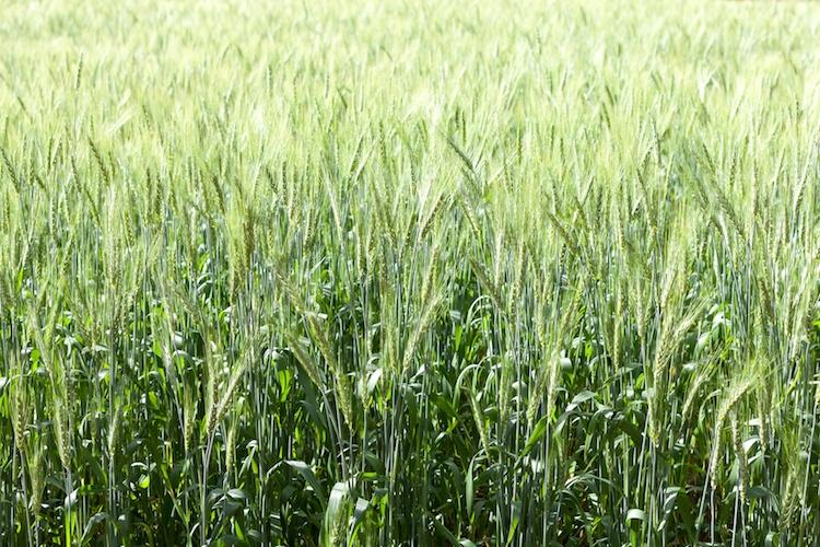 grano-frumento-verde-by-sarote-fotolia-750.jpeg