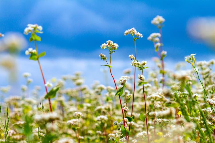 grano-saraceno-in-fiore-fiorito-by-rustamank-adobe-stock-750x500