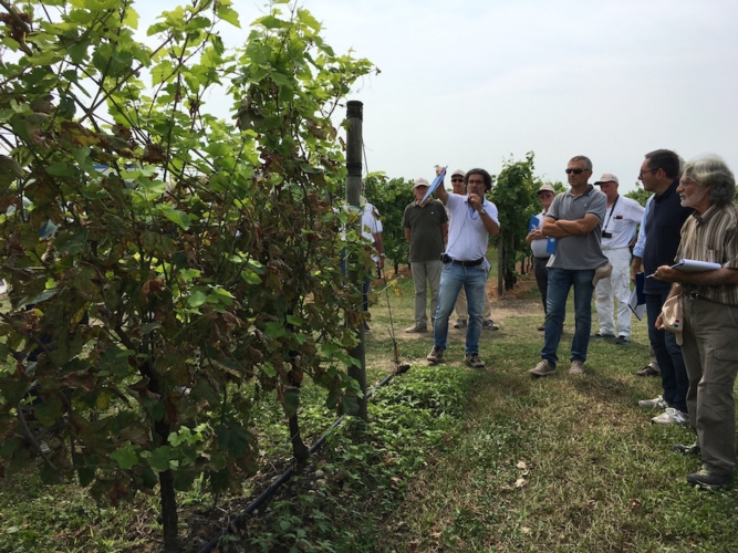 grape-field-tour-spresiano-cinquemani
