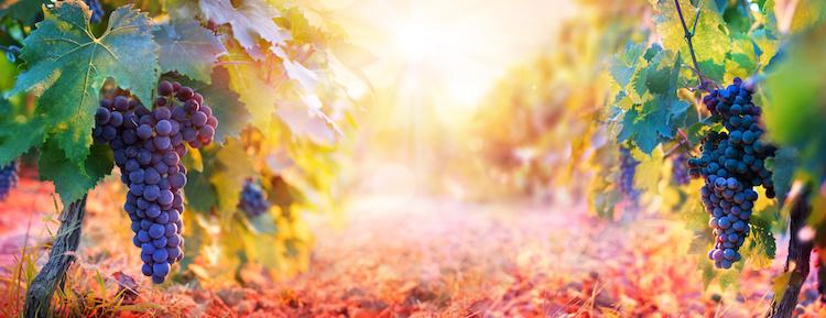 grappoli-grappolo-uva-vigneto-tramonto-by-romolo-tavani-fotolia-750