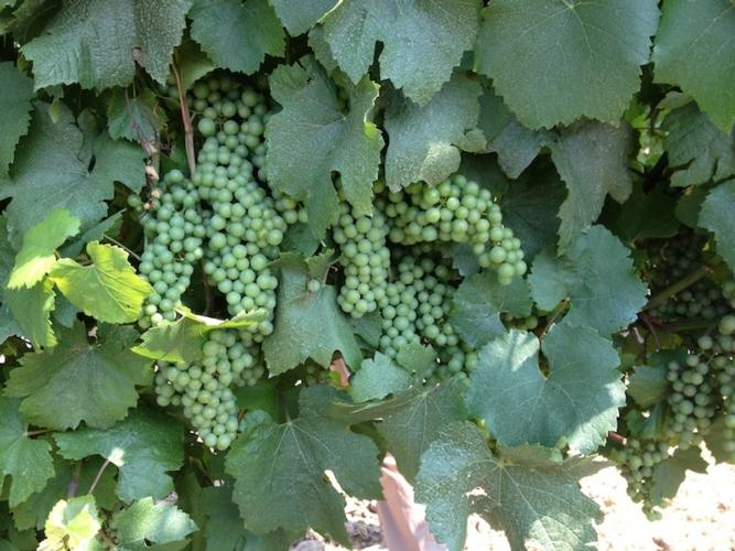 grappoli-uva-donatello-sandroni