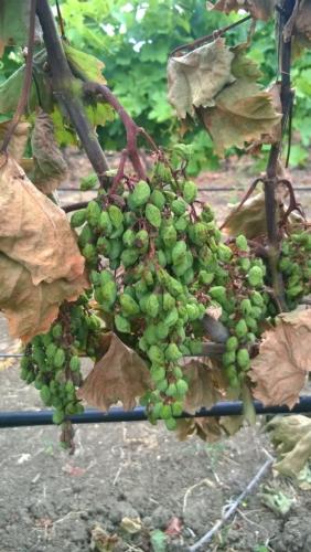 grappolo-uva-mal-del-esca-marsala-trapani-fonte-belchim.jpg