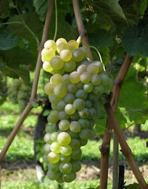 iasma-antico-vitigno-recuperato-varieta-maor