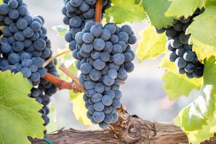 il-vitigno-magliocco-dolce09giu2019coldiretticalabria