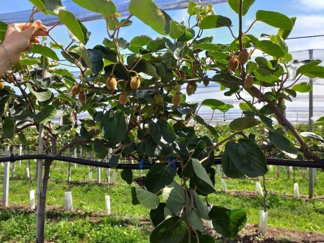 Portainnesto del kiwi giallo: zero batteriosi con la nuova selezione Green Angel - Plantgest news sulle varietà di piante