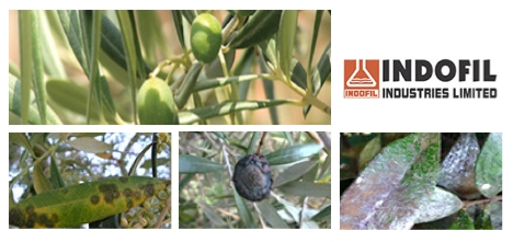 indofil-mancozeb-olivo