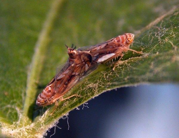insetti-dannosi-accoppiamento-fonte-iasma