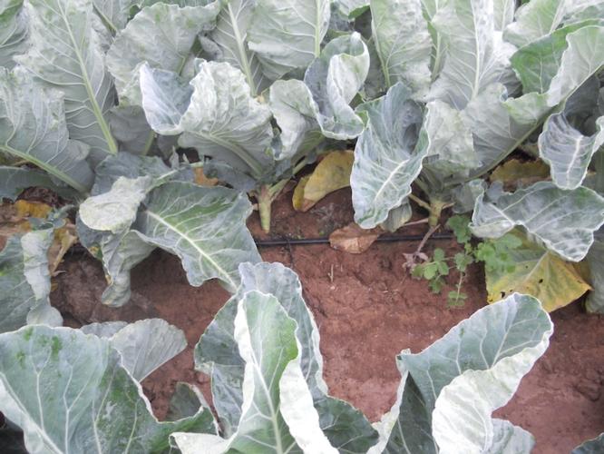irrigazioen-su-cavolo