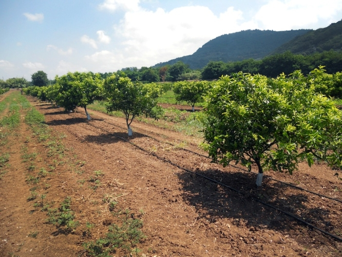 irrigazione-a-goccia-agrumi-irritec