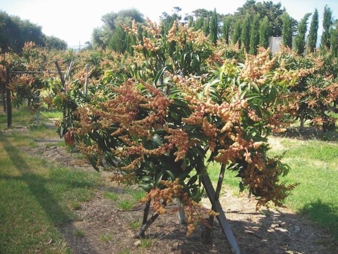 irritec-irrigazione-mango