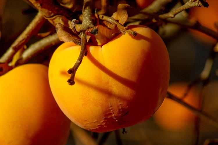 Kaki, tra varietà e tecnica di coltivazione - Plantgest news sulle varietà di piante