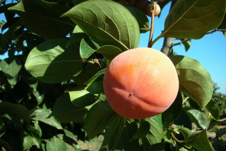 Kaki, come coltivarlo - Plantgest news sulle varietà di piante