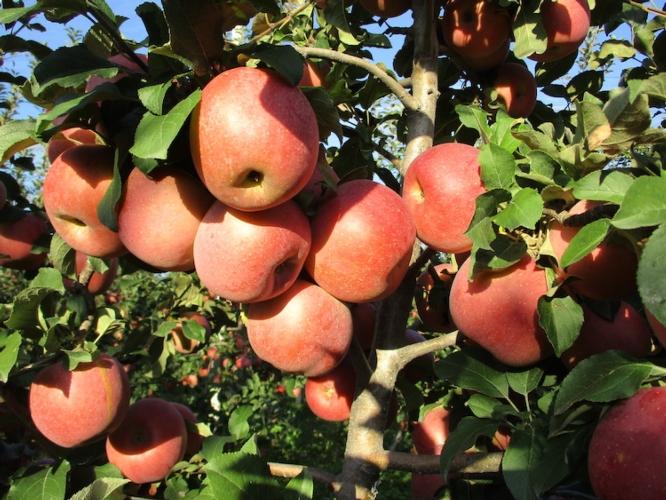 Geoplant sperimenta un nuovo clone: la mela Fuji torna in pianura - Plantgest news sulle varietà di piante