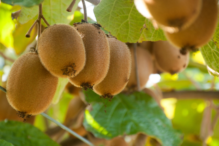 kiwi-actinidia-by-darenlot-adobe-stock-750x498