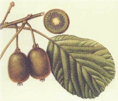 kiwi-actinidia-convegno-grions