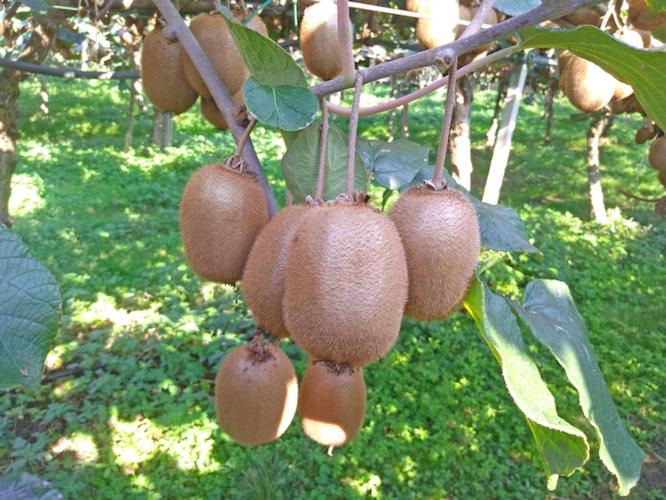 Geoplant scommette sulla qualità del kiwi con Boerica<sup>*</sup> - Plantgest news sulle varietà di piante