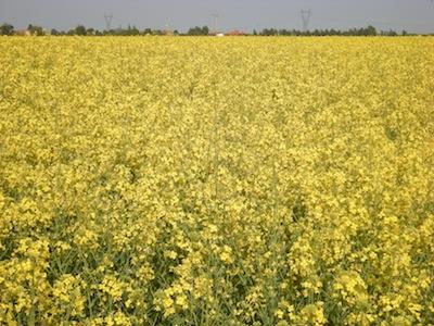 ks-agricoltura-colza