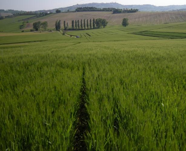 ks-agricoltura-grano-levata-collina