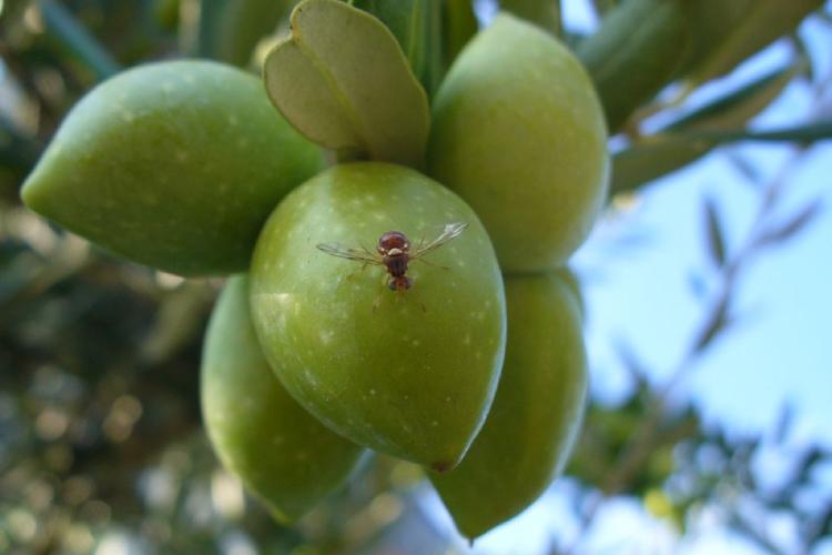 la-mosca-dell-olivo-fem-750x500