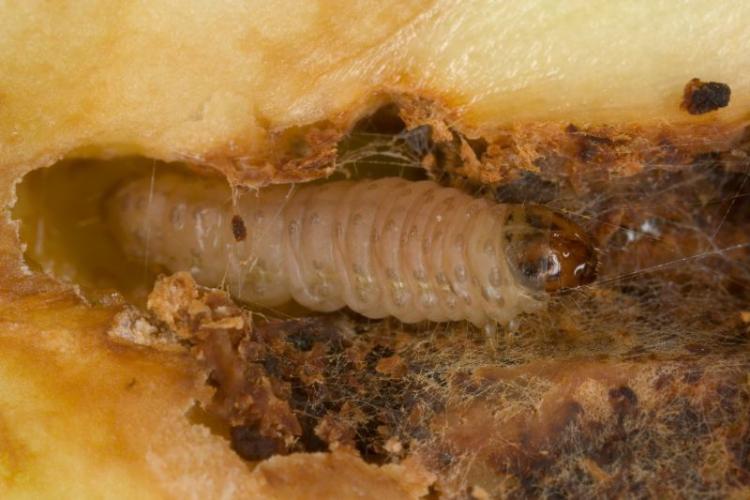 larva-di-cydia-pomonella-bayer