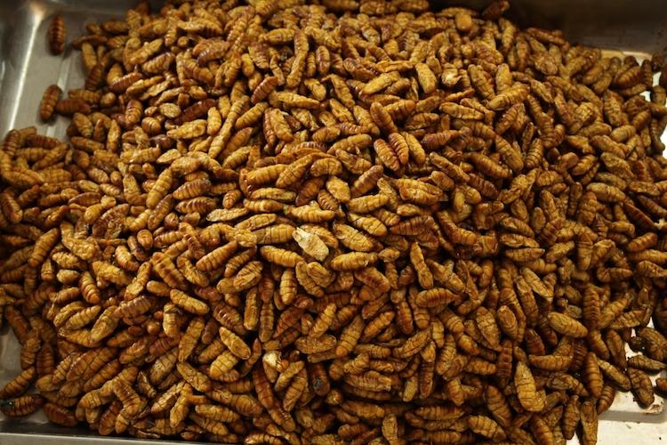 larve-articolo-mario-rosato-ott-2017-fonte-progetto-insect-feed-chick.jpg