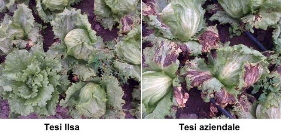 lattuga-confronto-tesi-ilsa-tesi-aziendale-tip-burn-fonte-ilsa