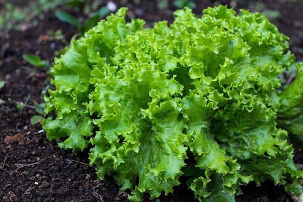 lattuga-fonte-ilsa