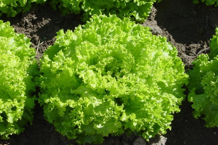 lattuga-insalata-crispa-gentile-byconsorziolusiaigp-750x500