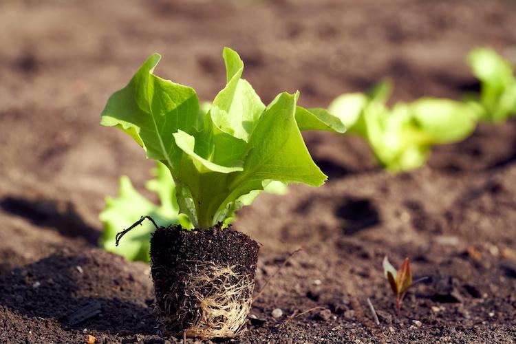 Trapianti da orto, consigli per un buon attecchimento - Plantgest news sulle varietà di piante