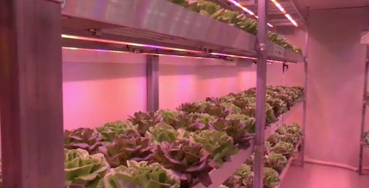lattuga-vertical-farm-macfrut-maggio-2017-schermata-video-barbara-righini.jpg