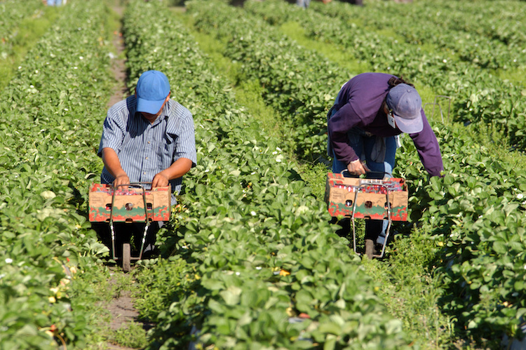 lavoro-agricolo-caporalato-raccolta-fragole-by-nick-barounis-adobe-stock-750