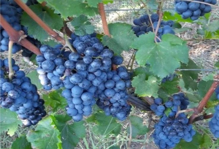 lazio-vitigno-nero-uva-by-arsial-jpg