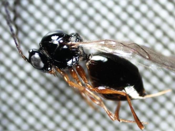leptopilina-japonica-nemico-naturale-drosophila-suzukii-al-microscopio-set-2020-fonte-fondazione-edmund-mach