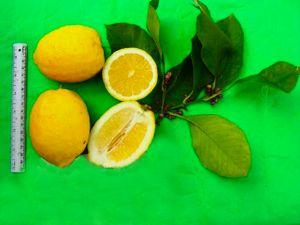 limone-antica-rocca-imperiale-frutto-misure.jpg