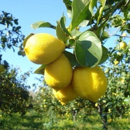 limone-di-siracusa-igp03lug2016distretto-agrumi-sicilia