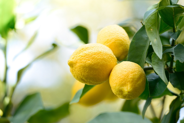 limoni-albero-limone-pianta-by-kps-adobe-stock-750