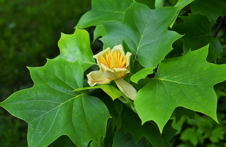 liriodendron-tulipifera-liriodendro-albero-dei-tulipani-piante-nomi-alberi-sebi2569-adobe-stock-750-488