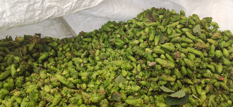luppolo-fresco-italian-hops-company-ago-2020-fonte-barbara-righini