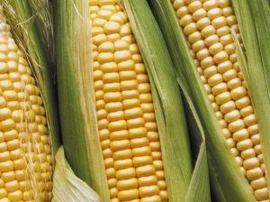 mais-belriose-maize
