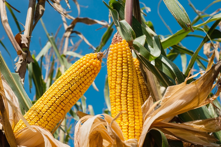 Mais, superfici al minimo storico - Plantgest news sulle varietà di piante