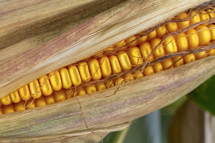 Mais, più innovazione crea più reddito - Plantgest news sulle varietà di piante