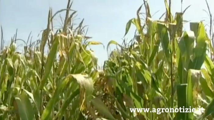 mais-progetto-combi-mais-fonte-tommaso-cinquemani-agronotizie.jpg