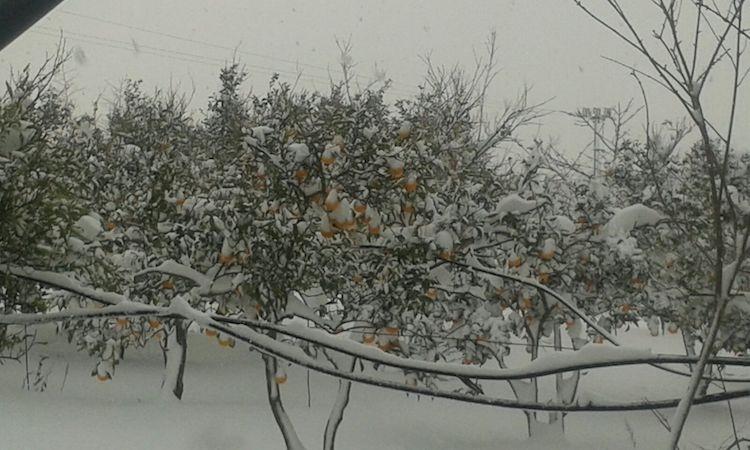 maltempo-neve-danni-agrumeti-a-castellaneta-fonte-confagricoltura-taranto