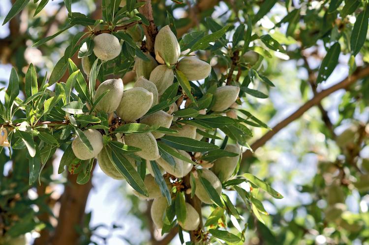 Mandorlo, giornate tecniche in Sardegna - Plantgest news sulle varietà di piante