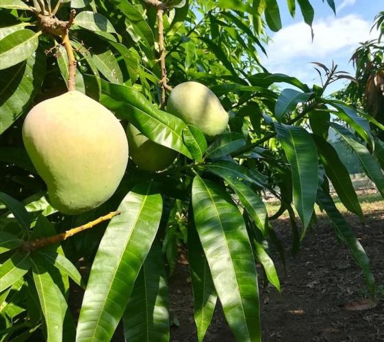 mango-papamango-pianta-rubrica-agroinnovatori-ott-2019-fonte-azienda-agricola-bianco-rosalia