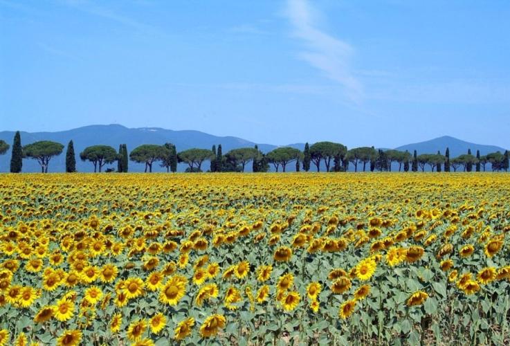 maremma-paesaggio-toscana-girasoli-by-giovanni-from-firenze-wikimedia-jpg.jpg