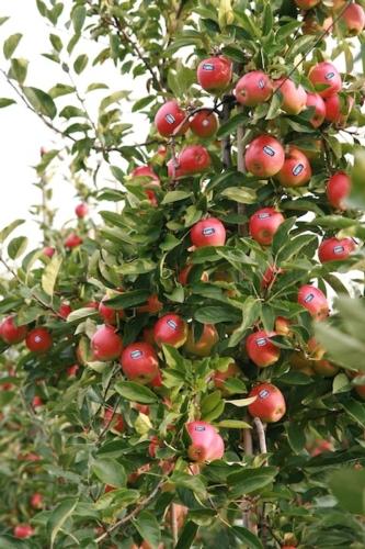 mela-kanzi-albero