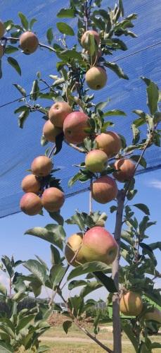 Mele, Verde Intesa: ottima annata sia in quantità che in qualità - Plantgest news sulle varietà di piante